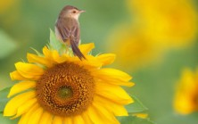 51984-beak-tawny-flower-yellow-bird-legs-sunflower-300x187
