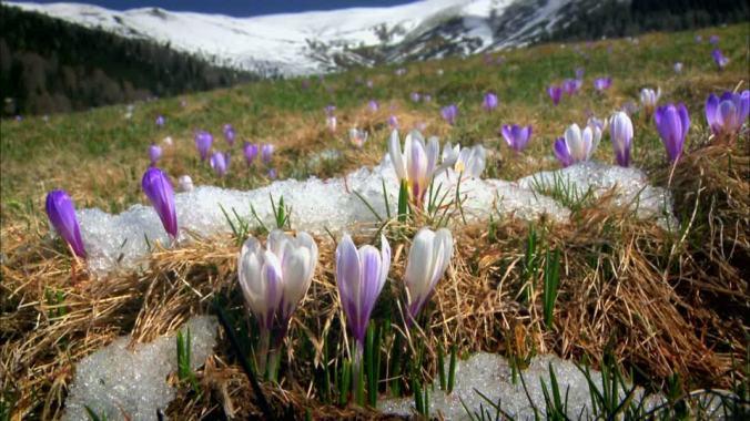 688580676-crocus-fonte-des-neiges-fondre-champ-de-fleurs